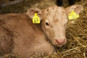A working cattle farm in Lanarkshire - see our calves when you stay in our cottage