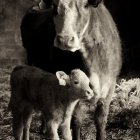 A cow and her calf