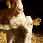 Cow and calf at Cleugh farm