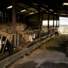 Take a tour of the cattle shed
