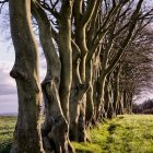 Stand of beech trees
